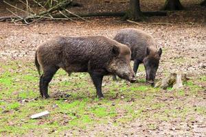 Adolescent wild boar