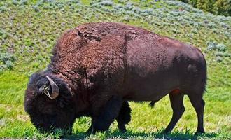 American Bison Buffalo Bull grazing in Yellowstone National Park