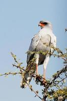 African Southern Pale Chanting Goshawk