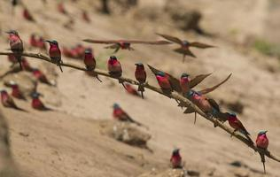 Southern Carmine Bee-eaters (Merops nubicoides) photo