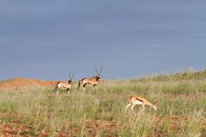 Springbok and oryx, Namibia photo