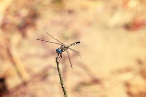 Dragonfly madagascar photo