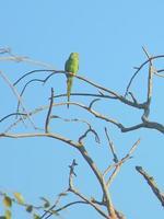 Parakeet (Parrot)