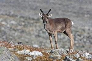 Reindeer (Rangifer tarandus, Glittertind mountain, Jotunheimen N