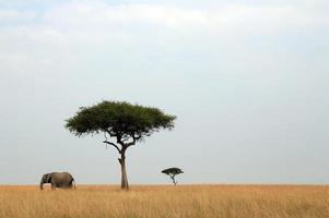 elefante y acacias foto