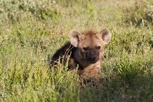 Young spotted hyena hiding in the grass photo