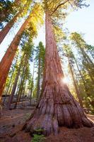 Sequoias in Mariposa grove at Yosemite National Park photo