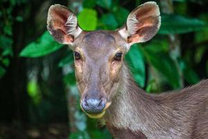 ciervos en el parque nacional khao yai foto
