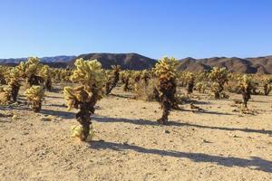 Joshua Tree National Park  - Cactus Field