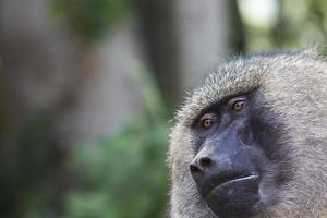 babuíno - parque nacional tarangire - reserva de vida selvagem na tanzânia,