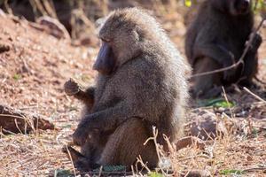 Papio cynochephalus (baboon) photo