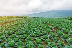 Field of green cabbage crop