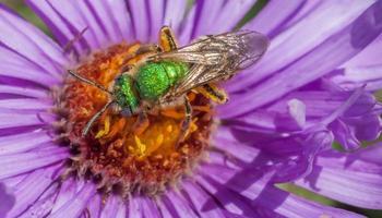 abeille halictidae polinización flor foto