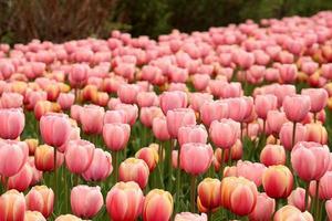 tulipanes de primavera en plena floración