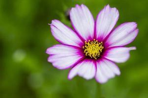 pink calliopsis flower photo