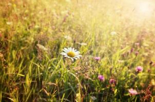 Summer sunny meadow and white dandelion photo