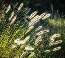 Flowers of Australian Grass Pennisetum alopecuroides Glowing in Sunlight
