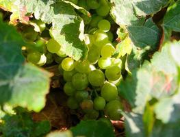 White wine grapes in the Alsace photo