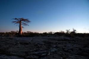 Baobab tree in afternoon light
