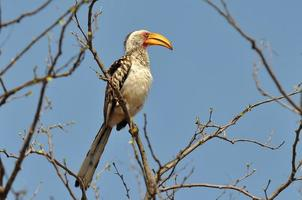 Southern yellow-billed hornbill ,South Africa