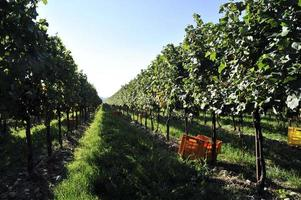 boxes of grapes among the vineyards photo
