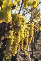 Vidal White Wine Grapes for Making Ice Wine