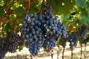 grape wine photo