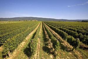 Wineyard photo