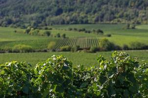 Vineyards in Rhineland Palatinate photo