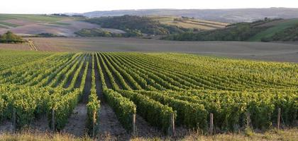 Panoramic view of a vineyard photo
