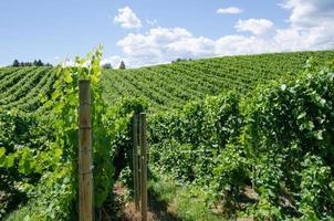 Pinot gris vineyard in the Okanagan Valley photo