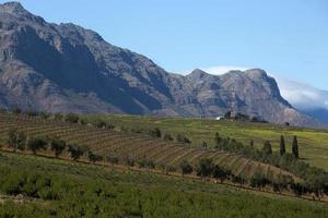 Vineyards at Stellenbosch town, South Africa photo