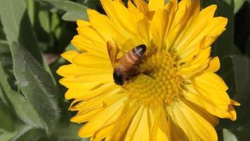 les abeilles récoltent le nectar des fleurs