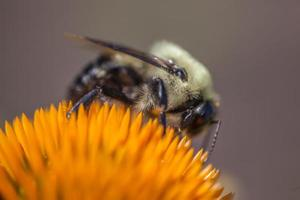 Bourdon, flor, polinización foto