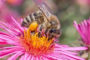 abeille sur une aster de la nouvelle angleterre foto
