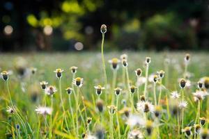 Abstract blurly field of Tridax procumbens photo