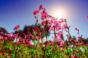 Fields of pink flowers in the sun.Natural blurred background. So