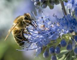 Honey bee on flower photo