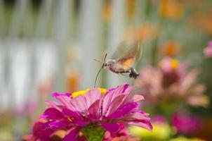 Butterfly hummingbird takes pollen photo