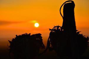 Sunflower silhouette at sunrise.