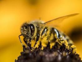 Bee on the yellow coneflower photo