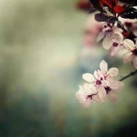 Spring Cherry blossoms photo