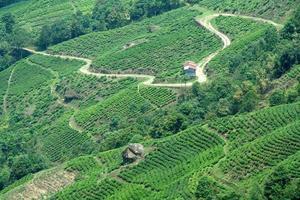 Paths in Tea Garden