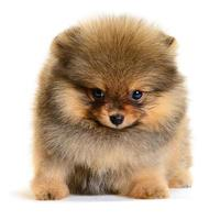 cachorro pomerania foto
