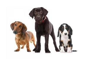three puppies photo
