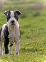 Amor de cachorros