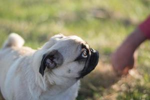 Mops puppy photo