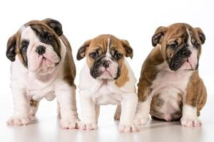 bulldog puppies photo