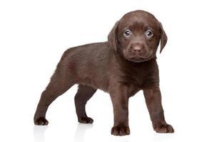Labrador puppy photo
