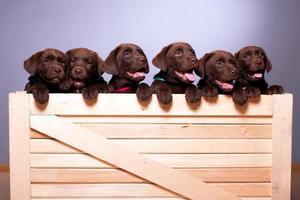 Labrador retriever puppies photo